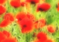P135 Poppies